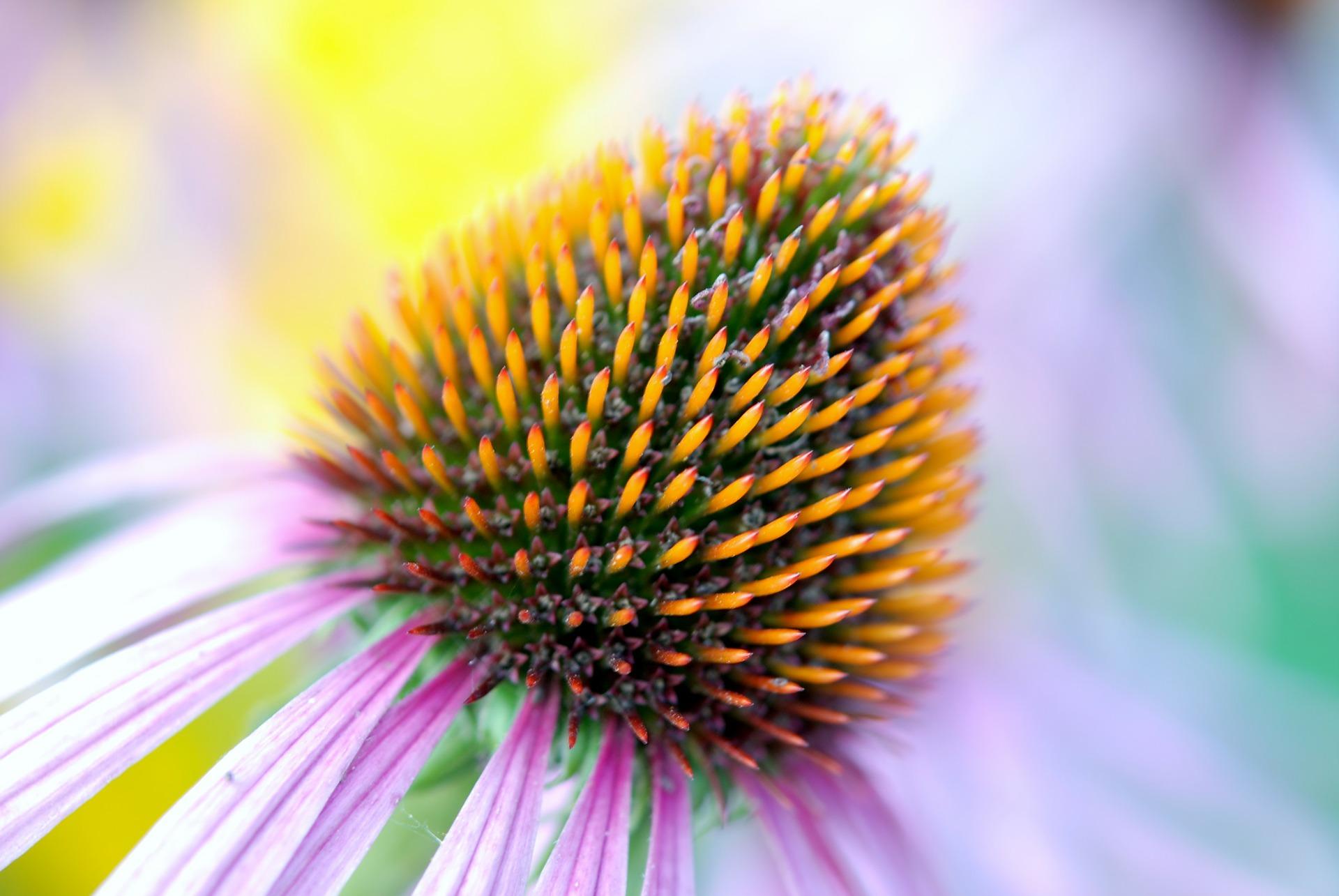 Ehinacea ljekovito bilje - echinacea