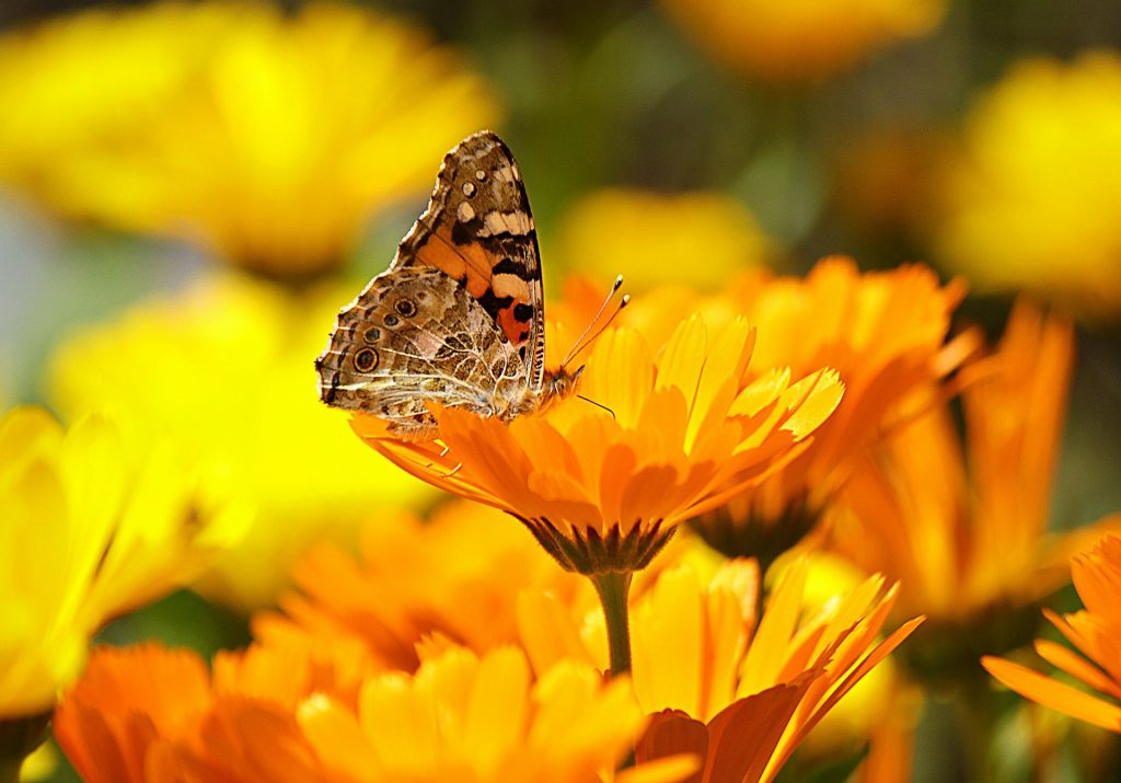 calendula - marigold